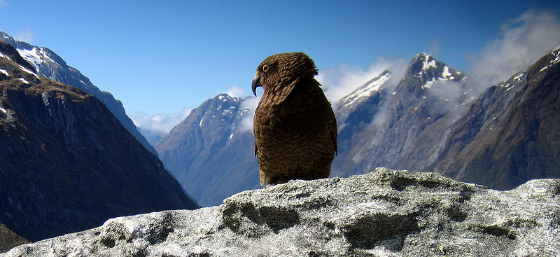 the new zealand kaka distribution and
